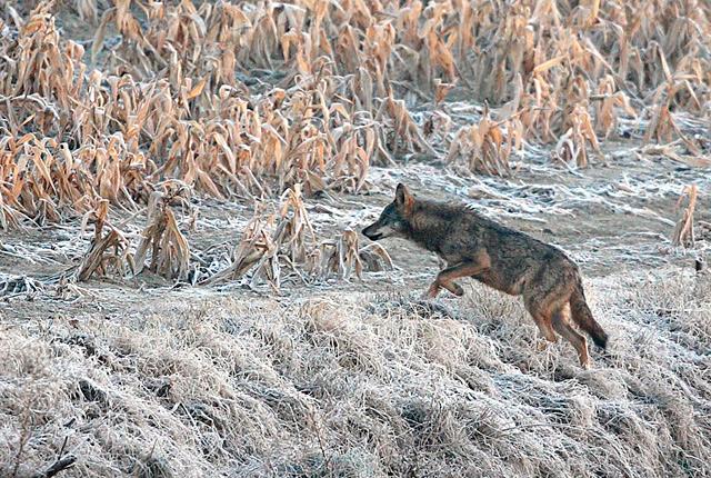 ASCEL, Asociación para la conservación y estudio del lobo ibérico